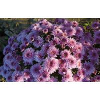 Хризантема  Bransound Purple (мультифлора)